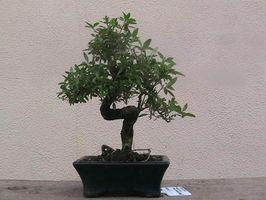 Hvordan Grow Bonsai Trees Fra Seed