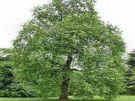 Tulip Tree Identifikasjon