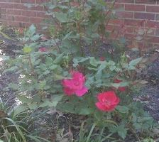 Hvordan å beskjære en busk Rose