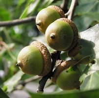 Typer av Oak Trees i Georgia