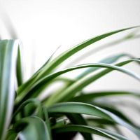 Spiderettes Fra en Spider Plant