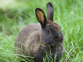 Kaniner spiser Mine Bean Planter