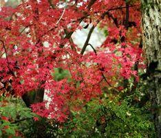 Slik Care for Cutleaf japanske Maples