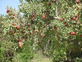 Stell av Apple Trees: Insektmidler