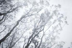 Soppinfeksjoner av eukalyptustrær