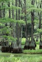 Hvordan identifisere en Cypress