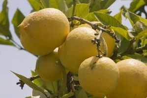 Italienske Lemon Tree Typer