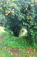 Hva gjør Orange ungtrær ut?