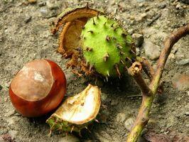 Hvordan Grow Horse Chestnut Trees Fra Seed