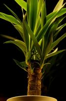 Tropiske Kontor Planter