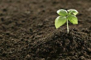 Hvordan å beskjære Crepe myrt å vokse Tall