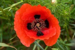Blomster som betyr Husk