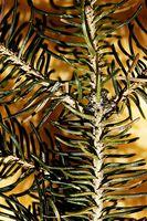 Informasjon om Spruce Pine Trees