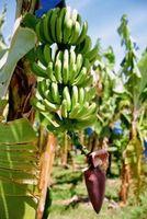 Slik Care for en Banana Tree Plantet Outdoors