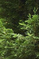 Hva Sykdommer Kan en Giant Arborvitae få?
