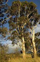Hvordan Plant eukalyptustrær