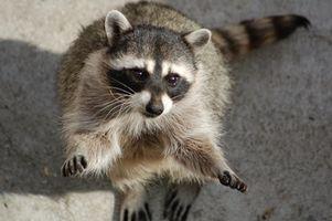 Hvordan bli kvitt søppel Raccoons