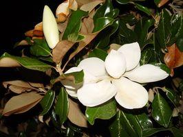 De forskjellige typer Magnolia Blomster