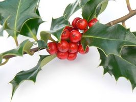 Bruker for en Holly Tree