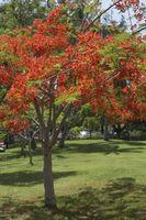 Deler av en blomst fra en Flamboyant treet
