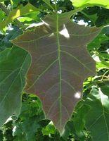 Red Oak Leaf Identifikasjon