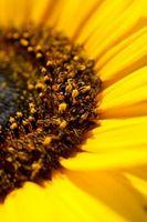 Hvordan Grow Giant solsikkefrø