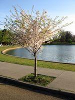 Hvordan Plant en Dogwood treet fra en ung Sappling