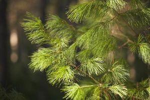 Hvordan Plant eviggrønne trær i North Carolina