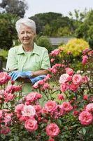 Hvordan å beskjære roser i sesong