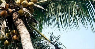 Hvordan Grow kokospalmer i Florida