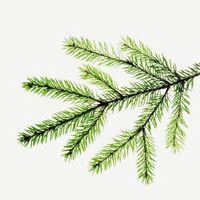 Hvordan se forskjell på Evergreen Trees