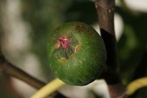 Hvordan kan jeg beskytte Fig Tree fryser?