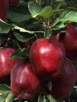 Når du beskjære frukttrær i North Carolina Do?
