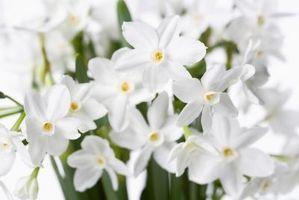 Hvordan å tvinge Narcissus pærer