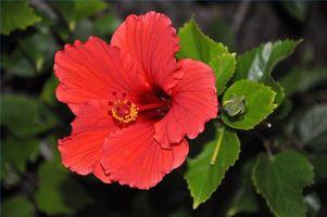 Hva Blomster er innfødte til Hawaii?