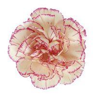 Hvordan Carnation Planter Få Mat & Food Color?