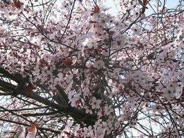 Hvordan Plant en japansk Plum Tree