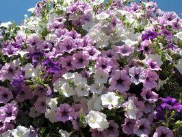 Hva er en etterfølgende anlegg med lilla blomster?