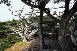 Kan du lage en Bonsai treet fra en sitron Cypress?