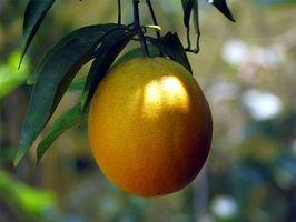 Slik beskytter Orange Trees Fra Freezing