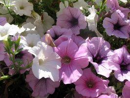 Blomster som betyr Healing