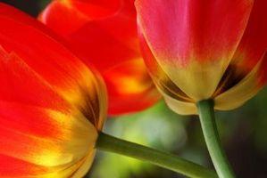 Post-Bloom Stell av tulipaner