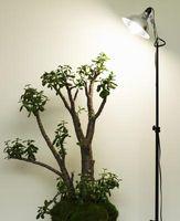 Hvordan Grow en Jade Plant på badet
