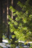 Størrelse med en Pine Tree