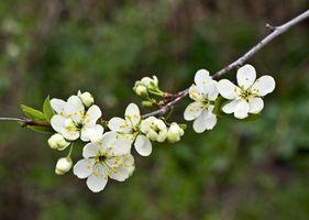 Hjort Resistant Blomstrende Cherry Tree