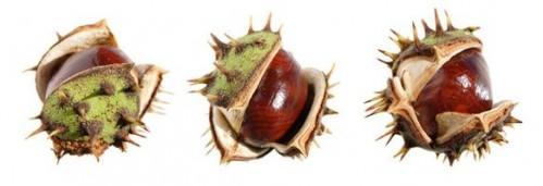 Hvordan Plant Horse Chestnut Trees Fra Seed