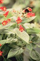 Hvordan Plant Gloxinia