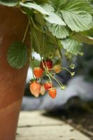 Hvordan Grow Jordbær i en hengende kurv