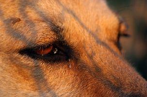 Kosttilskudd for hunder å hindre blindhet